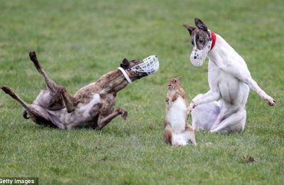 "New evidence shows Ireland's hare coursing ""regulations"" are meaningless"