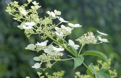 Hortensia panicule  'Kyushu'- Hydrangea paniculata 'Kyushu'