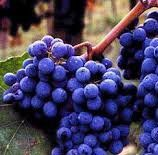 Sangiovese Producers North Coast California