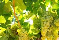 Chardonnay Producers Central Valley California