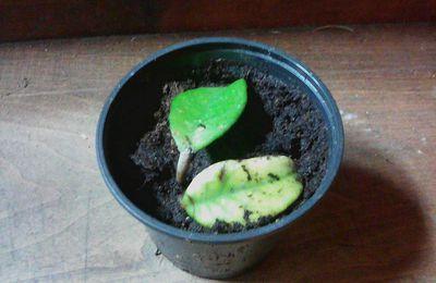 Hoya carnosa ( Flor de Nacar )