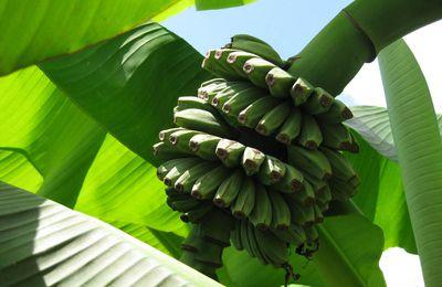 Bananier - Banana Musa