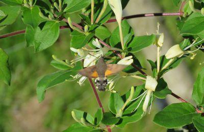 Papillon du Pays de la Loire