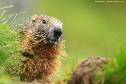 Marmotte de Alpes (Marmota marmota)