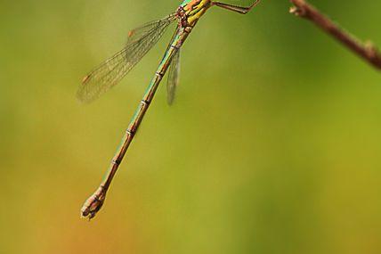 Insecte (libellule)