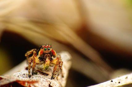 Aelurillus v-insignitus (mâle) en plein repas