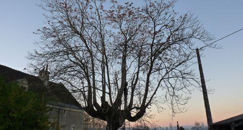 """Taille d'un Ailanthus altissima à l'ile Bouchard 37 lieu dit """"Montet""""."""