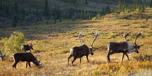 Alaska : Fairbanks et le Denali