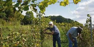 Vins et vignobles des coteaux de Pont-de-l'Arche : quelques informations grappillées çà-et-là sur une culture qui renait.