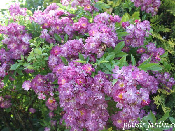 rosiers veilchenblau