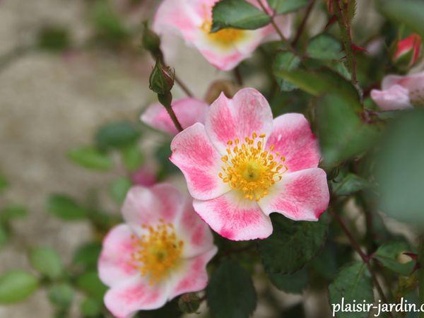 Le rosier 'aquarelle'