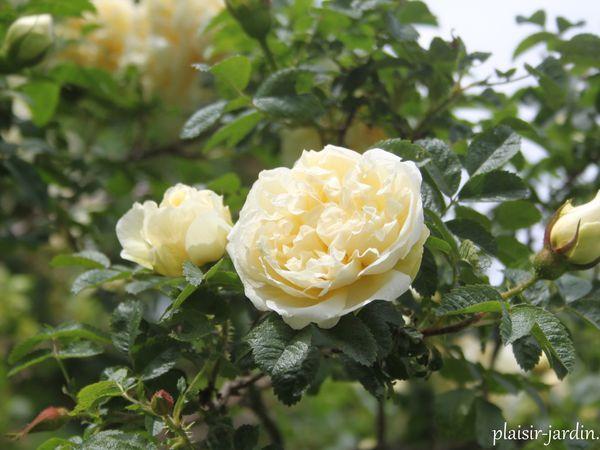 Le rosier Agnès