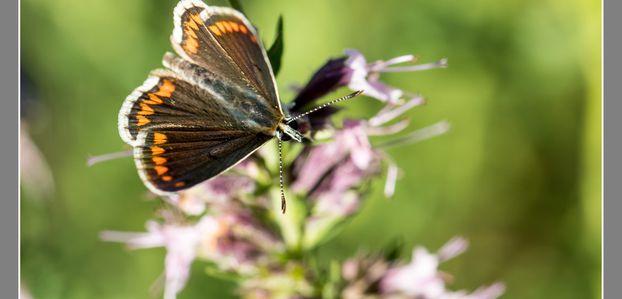 Abeilles, papillons et libellules !