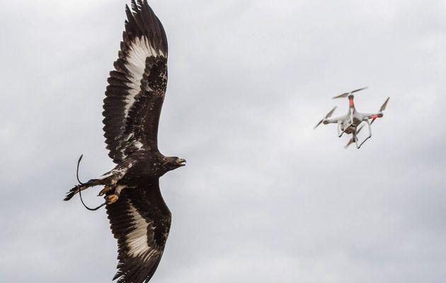 L'Armée de l'Air va utiliser des aigles royaux contre les drones légers