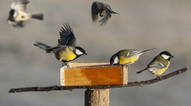 Les oiseaux du jardin  en hiver.