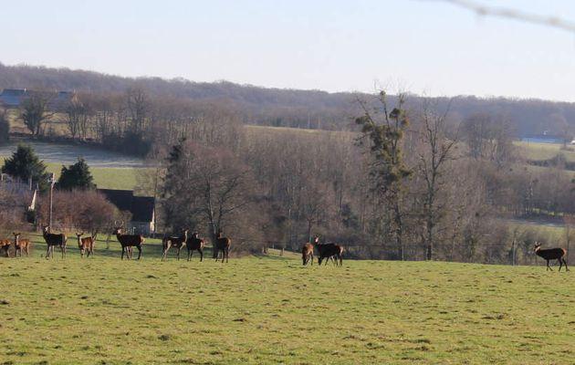 Les cervidés quittent la forêt pour trouver nourriture et tranquilité