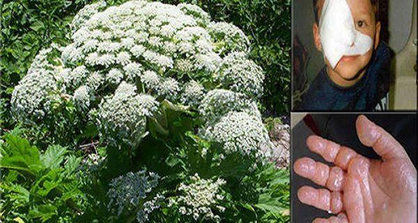 Si vous voyez cette plante, tout ce que vous faites, ne le touchez pas!