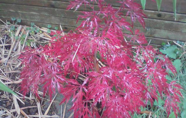 """Acer palmatum dissectum """" Nigrum """""""