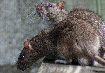 Control rodent in your house with professionals