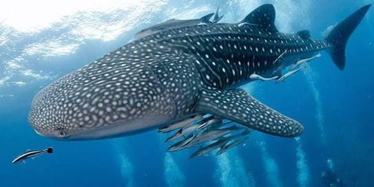 Isla Mujeres : voir les plus gros poissons du monde !