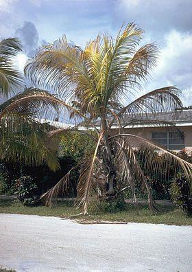 La cocoteraie de Léogâne menacée par la cochenille transparente du cocotier