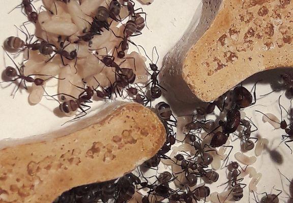 Une autre colonis d'exotiques, mes Camponotus nicobarensis, les filles d'Asie.