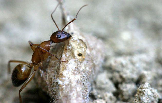 Toujours lors de nos promenades estivales, rencontre avec une gyne Camponotus pilicornis.