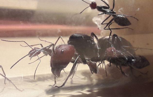 Le mardi c'est sushi ! ! arrivée d'une Camponotus asiatique...la singularis