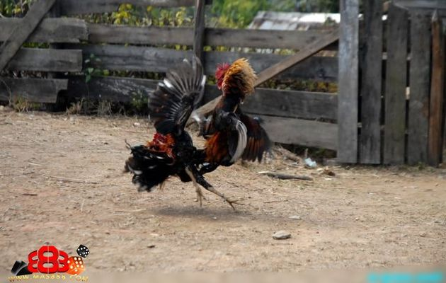 Cara Melatih Pukulan Ayam Menjadi Keras Dan Kuat