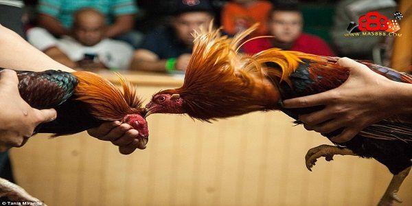 Bermain Sabung Ayam Online Yang Mengasyikkan