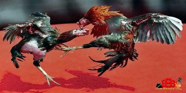 Cara Merawat Anak Ayam Bangkok
