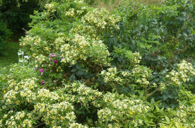 Pittospore du Japon - Pittosporum tobira