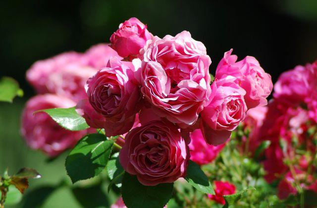Rosier buisson  à fleurs groupées .