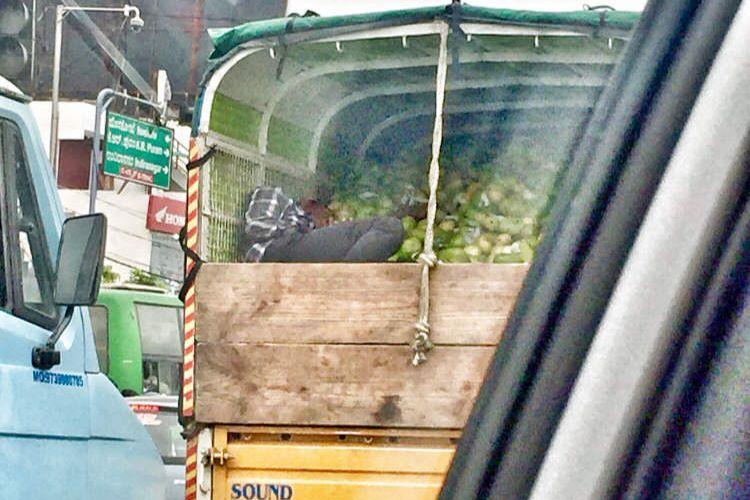 Dodo dans les mangues