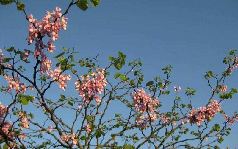 arbre de Judée - Cercis