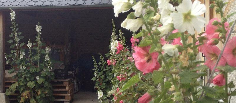 Roses trèmières